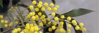 Wattle Acacia pycnantha flower of Australia